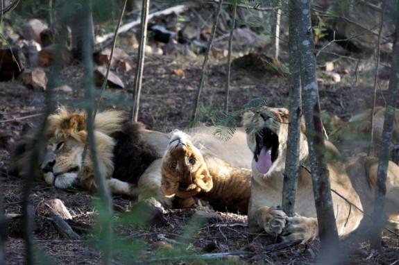 An usual lion family portrait, Gondwana