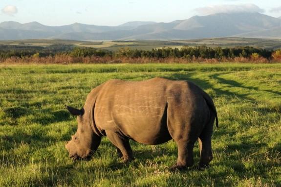 Black rhino, Gondwana