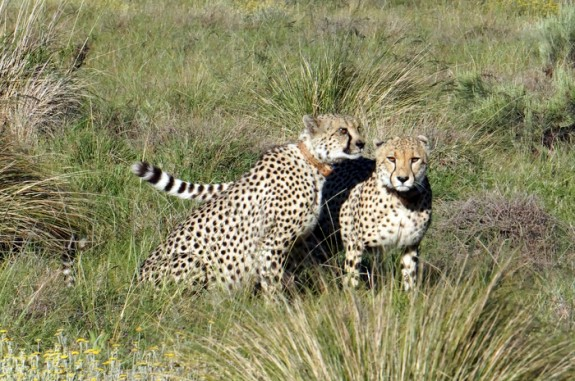 Cheetah brothers, Gondwana