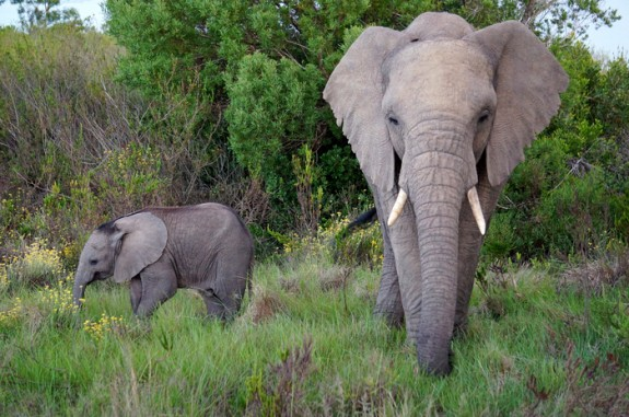 Mama and baby, Gondwana