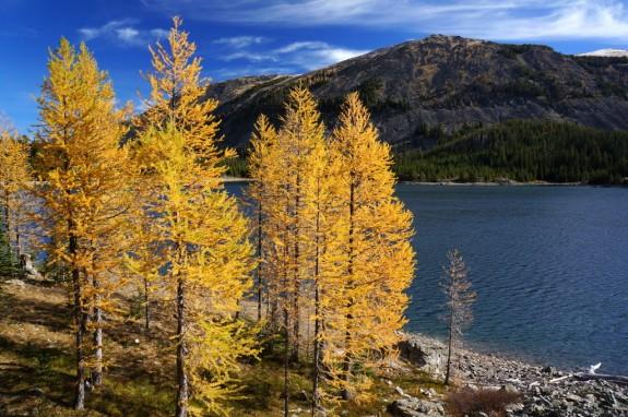 golden larch along Storm Lake