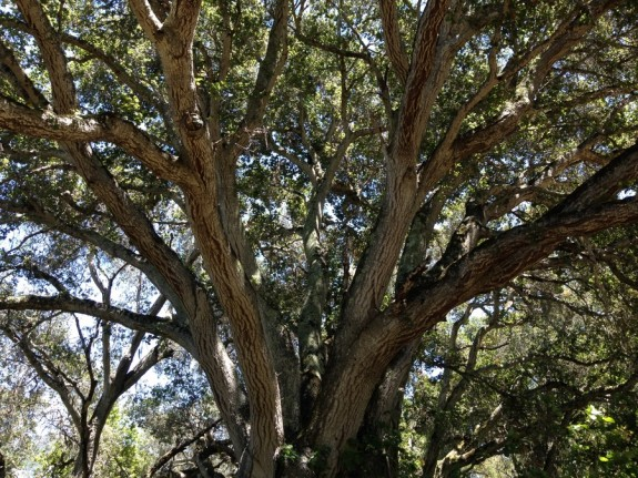 Ancient live oak in Garland Ranch Park